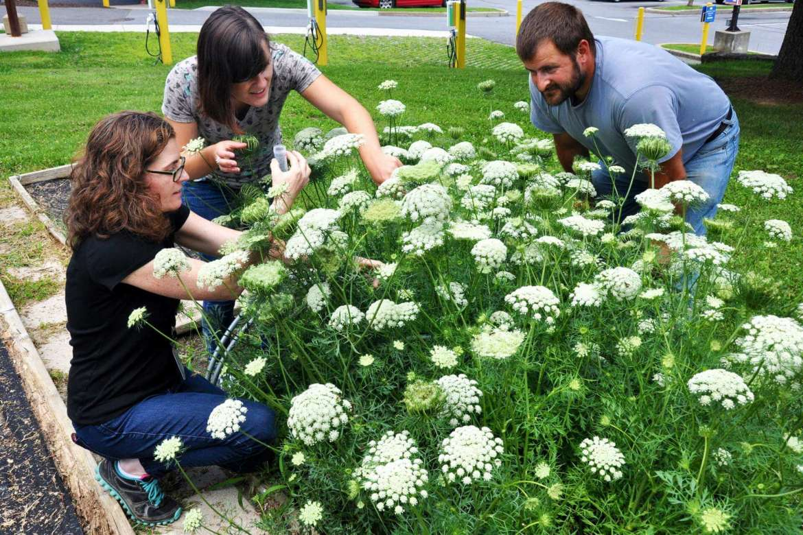 Stink bug research at Shepherd University involved collecting predators from plants growing in the garden behind the Robert C. Byrd Science and Technology Center. Pictured (left to right) are Dr. Clarissa Matthews, professor of environmental studies and chair of the Institute of Environmental and Physical Sciences, and students McKenzie Allen, Kearneysville, and Samuel Woullard, Martinsburg.