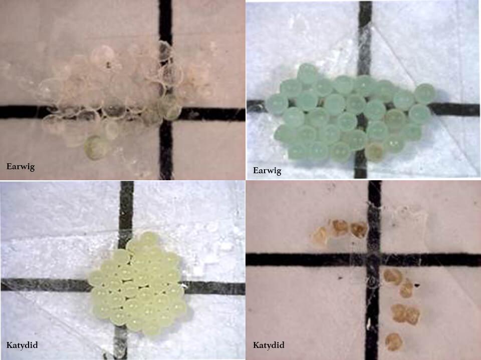 Stink bug eggs captured under the microscope camera.