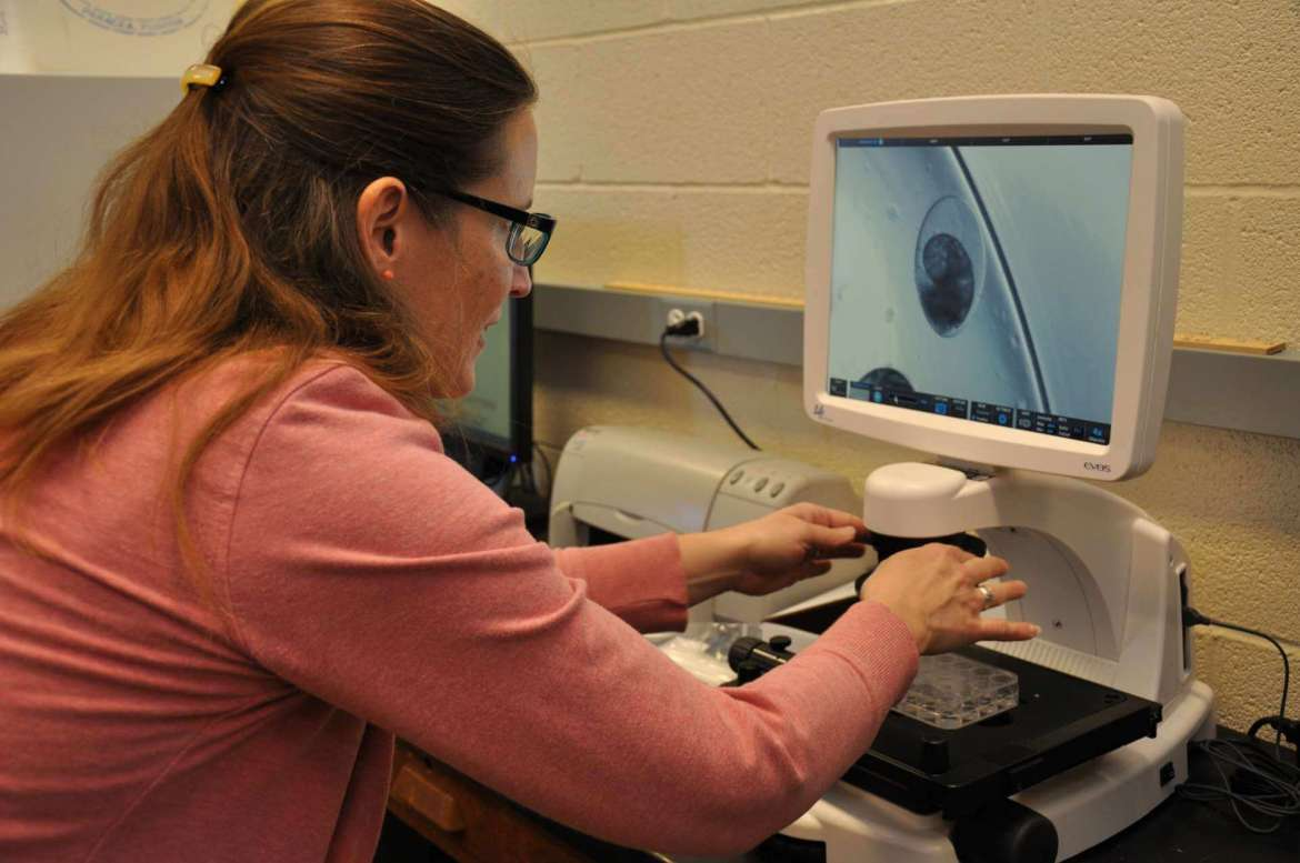 Dr. Carol Plautz, associate professor of biology, looks at a snail embryo on Shepherd's new Life Technologies EVOS FL Cell Imaging System fluorescence microscope.