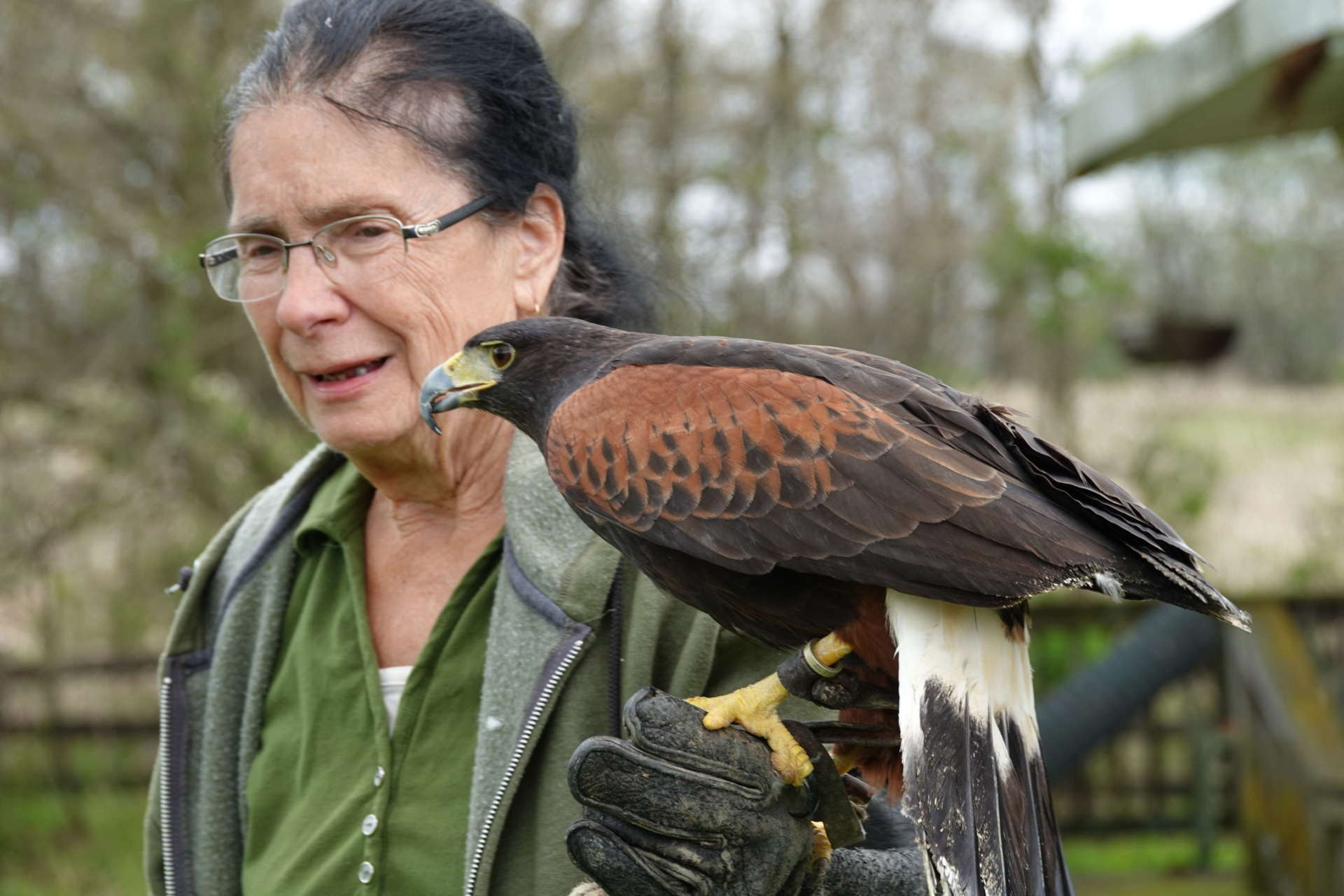 Trego Mountain Nature Center owner and master falconer Dina Spanomanolis shows off her Harris hawk Steady. Harris hawks, which hail from the southwest, are the only birds of prey that hunt in packs.  (photo credit Ken Molenda)