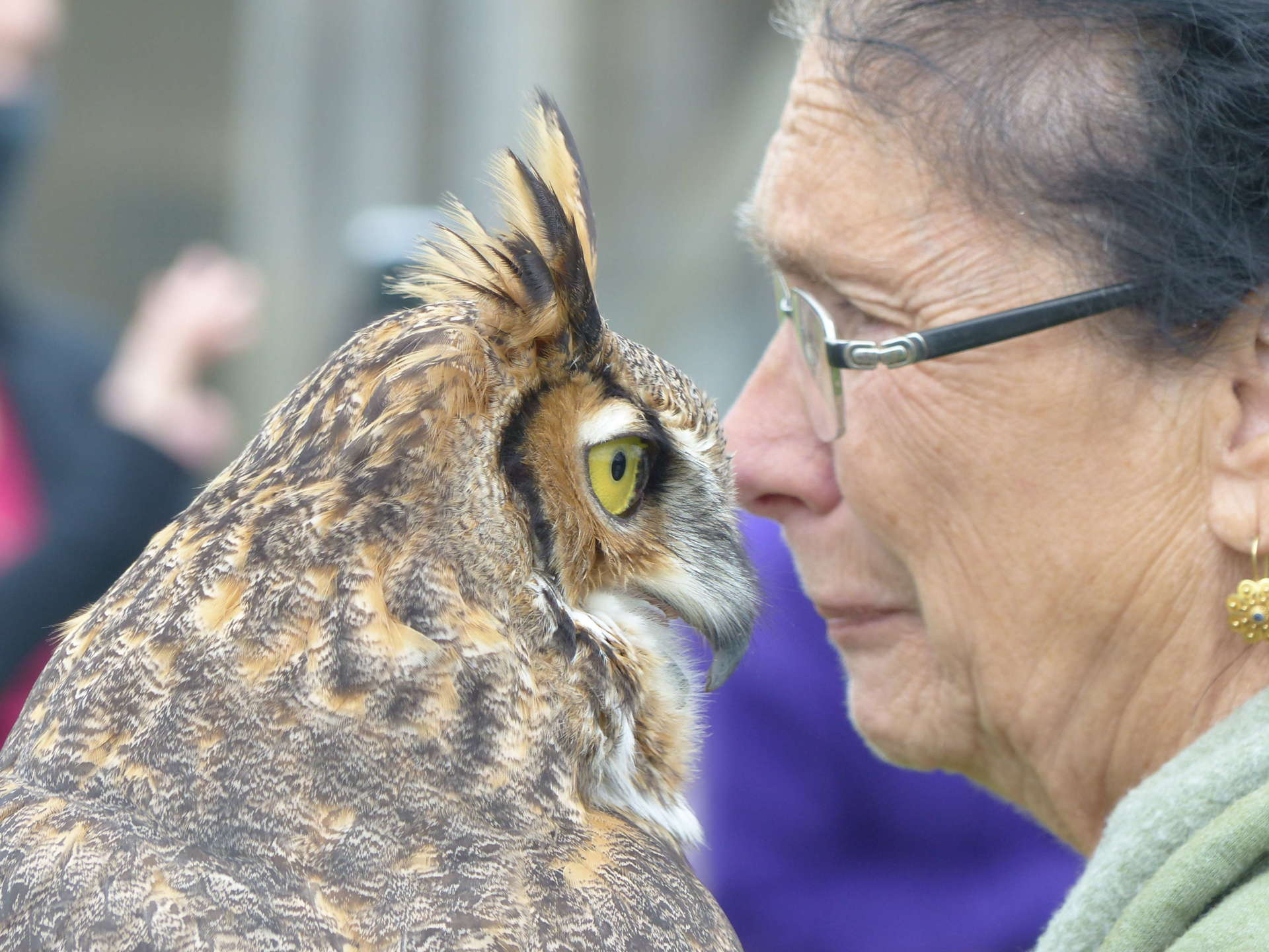 """Hector, a great horned owl, showed his affection for his handler Spanomanolis. Although raptors are dangerous hunters, Spanomanolis admits to """"babying"""" the birds in her care."""
